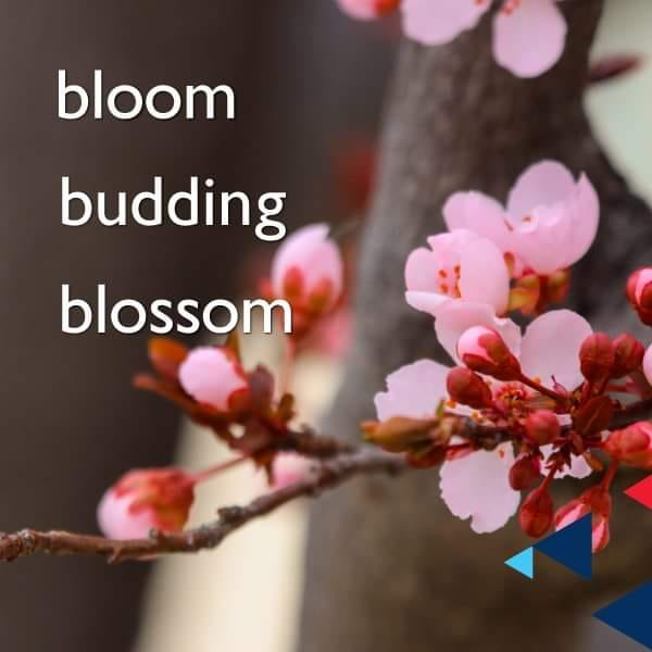 budding – blossom
